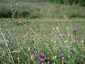 A local field overrun with Meadow Knapweed