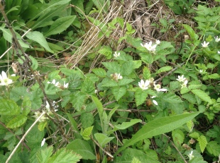 Trailing native blackberry (Rubus ursinus)