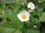 Native strawberry (Fragarius spp.)