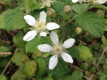 Native trailing blackberry (Rubus ursina)