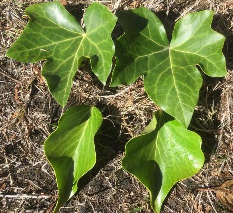 english-ivy-1