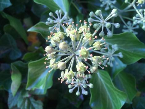 english-ivy-3